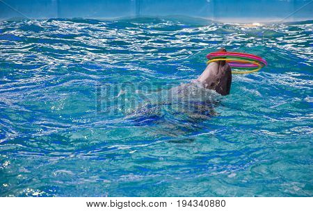 Odessa, Ukraine - May 7, 2017: Dolphin in dolphinarium with hula hoop