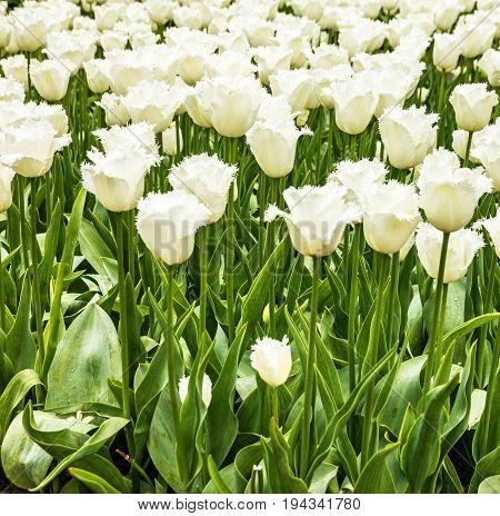 Tulip field white frowers in park Keukenhof, Netherlands, Holland