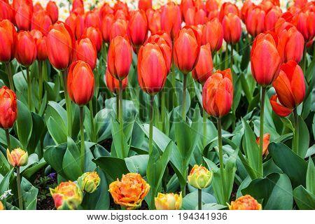 Red tulips park Keukenhof - largest flower garden in Europe, Holland