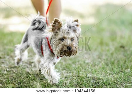 A small Yorkshire Terrier dog on a walk