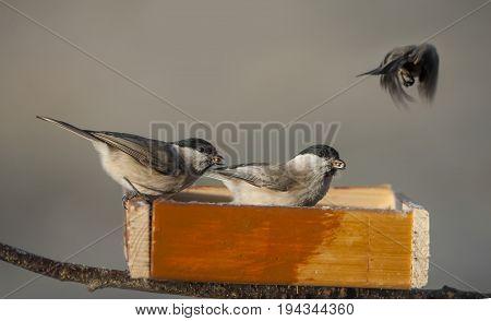 chickadee birds eating from bird feeder in winter