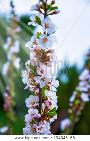 lots of beautiful bright light flowers, in florescences grow on the hive, bright white flowers