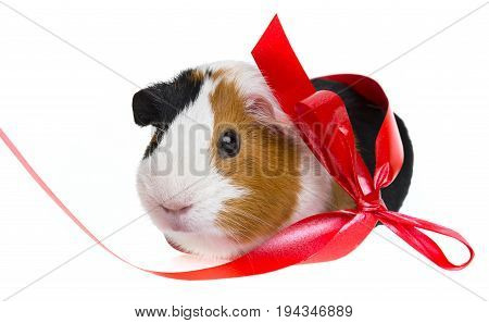 a guinea pig with a red ribbon