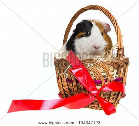 guinea pig in a little basket with a red ribbon