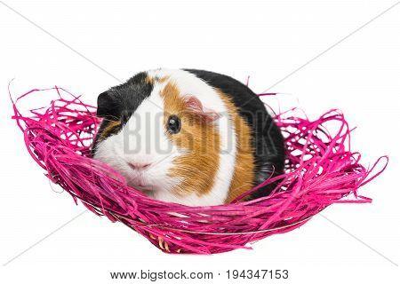 a guinea pig in a pink net