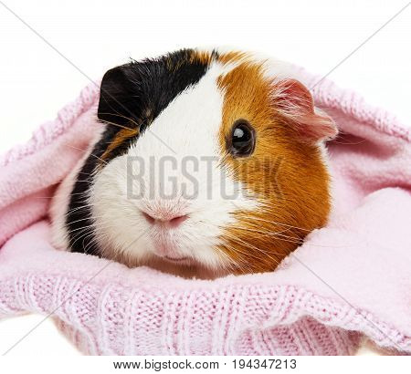 guinea pig in a pink cap isolated