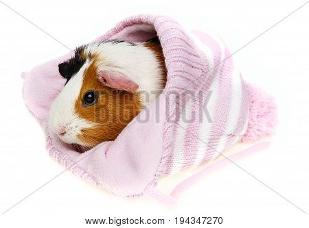 guinea pig in a pink cap isolated on white background