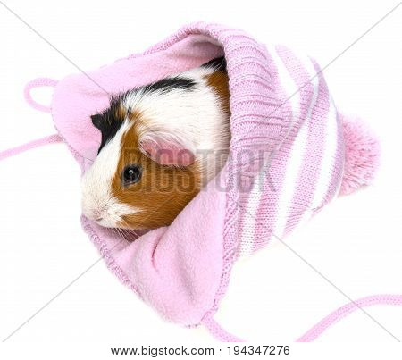 guinea pig in a pink cap isolated on a white background