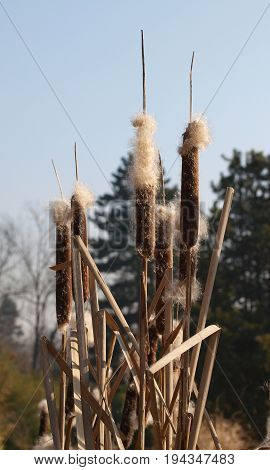 Autumn bunch of flowres of bulrush - Typha latifolia