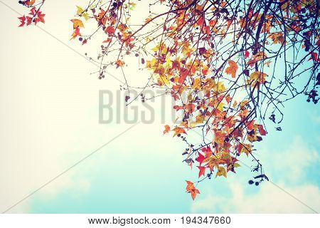 Beautiful autumn leaves and sky background in fall season Colorful maple foliage tree in the autumn park Autumn trees Leaves in vintage color tone.