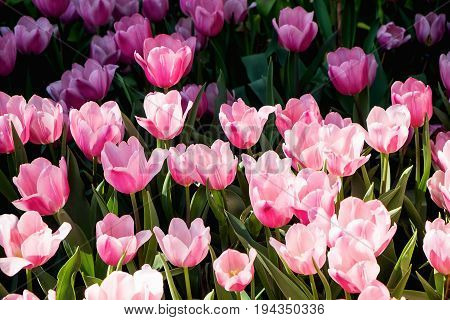 Tulip. Beautiful bouquet of tulips. colorful tulips. tulips in spring colourful tulip