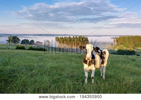 Belgian countryside - Ardennes. Cows on pasture with View over the Semois valley covered by clouds in the Belgian Ardennes in the morning.