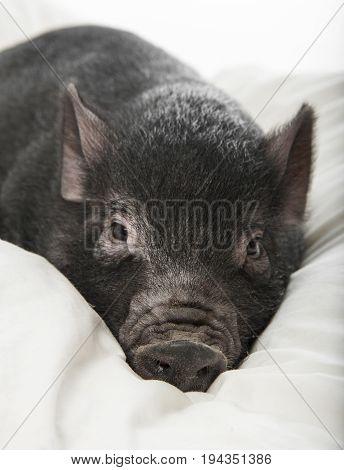 a little black pig lie on a pillow