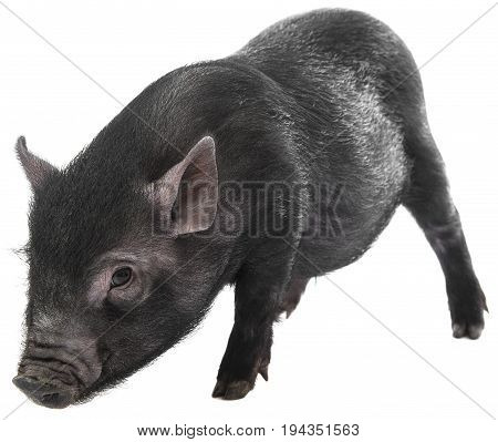 a little black pig isolated on a white background