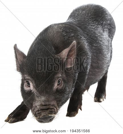 a cute little black pig isolated on a white background