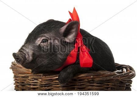a cute little black pig with a red ribbon