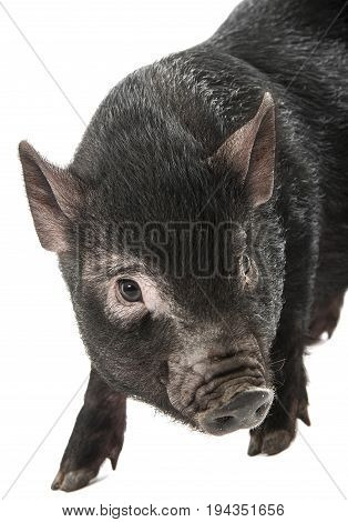 portrait of a little black pig isolated on a white background
