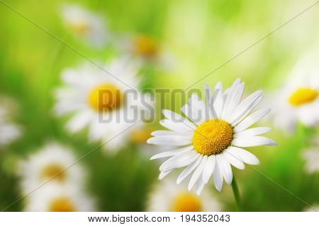 Daisy camomile flower.Chamomile field flowers border. Beautiful nature scene.  Spring Daisy. Summer flowers. Beautiful meadow. Summer background
