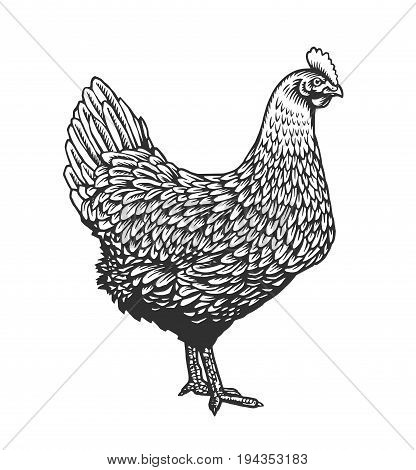 Chicken or hen drawn in vintage engraving or etching style. Farm poultry bird isolated on white background. Vector illustration in monochrome colors for poster, restaurant menu, website, logo