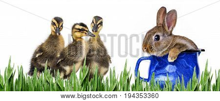 cute spring animals - ducklings and rabbit