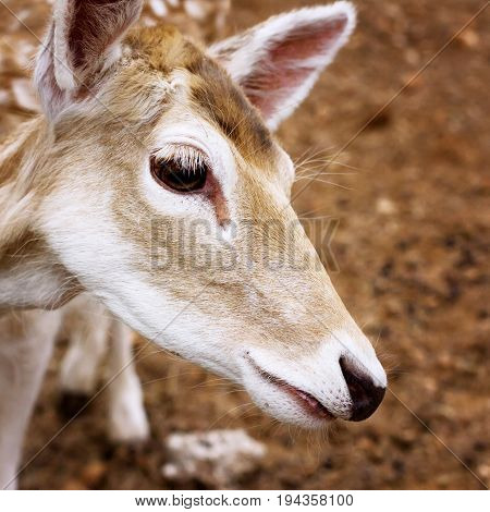 Close-up Of Young Deer Head
