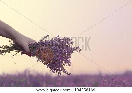 Gathering a bouquet of lavender. Girl hand holding a bouquet of fresh lavender in lavender field. Sun, sun haze, glare. Purple tinting poster