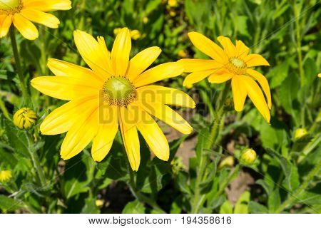 Euryops chrysanthemoides is an easy to grow Flower. View on beautiful Yellow Flowers in Sunlight. Close-up of a Yellow Flower. Golden Daisy Bush in Summer.