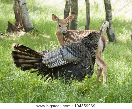 Whitetail Fawn Ad Wild Turkey Sizing Up Each Other