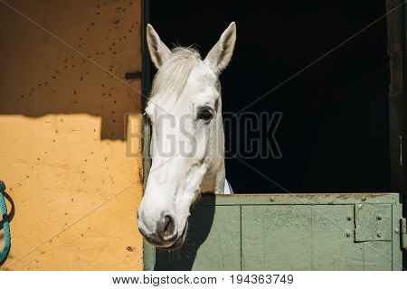 White horse looks throw window of stable with green door and yellow wall on ranch close up view