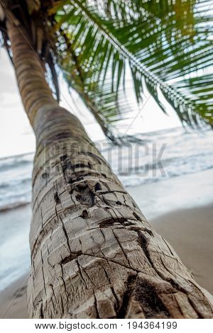 The trunk of a coconut tree as it grows strong over the waves of the Caribbean Sea