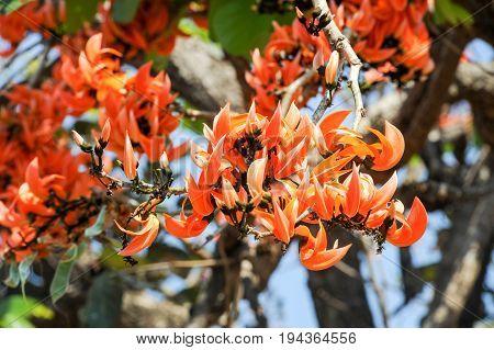 Butea Monosperma, Butea Frondosa Or Flame Of The Forest