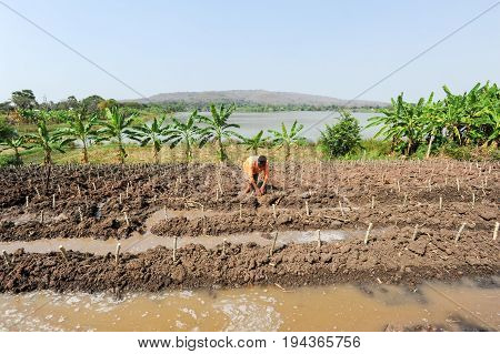Buriram Thailand - 1 february 2012: man working on a papaya field at Buriram Thailand
