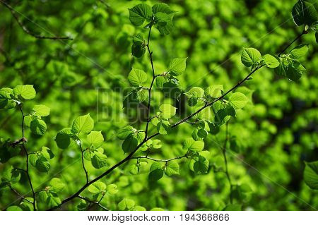 Brunch of lime tree on green background