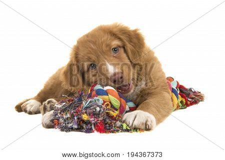 Cute nova scotia duck tolling retriever puppy seen from the front facing the camera lying on the floor chewing on a multicolored woven rope dog toy