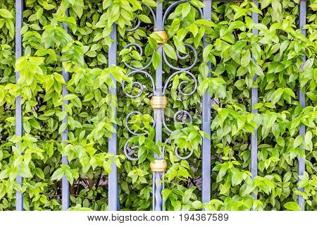 Banyan trees or Ficus annulata with metal bars as partition making green hedge fence
