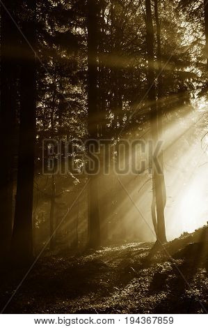 sun beams in a morning fogy forest