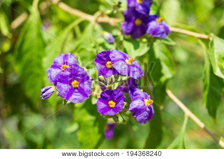 Paraguay nightshade. Close-up of purple Flowers. View on little violet Flowers in Sunlight. Blooming Flowers in Summer