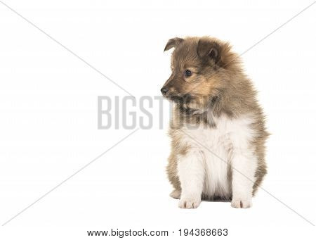Shetland sheepdog puppy looking to the left sitting isolated on a white background