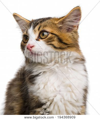 a cute long haired maine cat close up