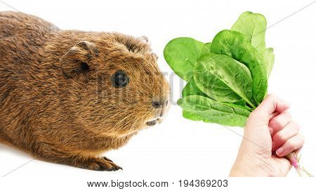 a guinea pig isolated on a white