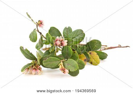 Cowberry plant isolated on a white background