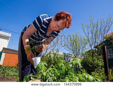 Voronezh, Russia - May 04, 2017: An elderly woman prepares seedlings for planting in the ground