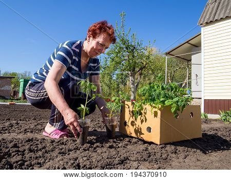 Voronezh, Russia - May 04, 2017: An elderly woman brought a box of young tomatoes to the dacha