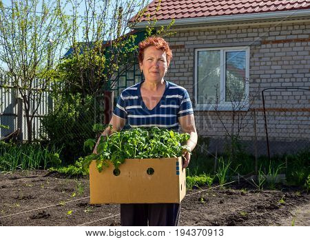 Voronezh, Russia - May 04, 2017: Elderly woman holding a cardboard box with seedlings