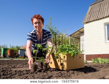 Voronezh, Russia - May 04,2017: An elderly woman from a box takes out the seedlings of a young tomato