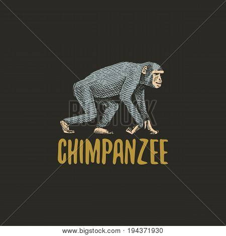chimpanzee engraved hand drawn in old sketch style, vintage animals. Monkey, ape or primate logo or emblems, retro label and badge