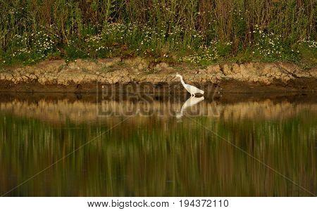 Little egret reflected in the water of Seaton Wetlands Devon
