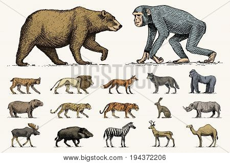 gorilla, moose or eurasian elk, camel and deer, rhinoceros. hare, wolf and bear with lion and tiger engraved hand drawn in old sketch style. set vintage wild animals from the world. side view