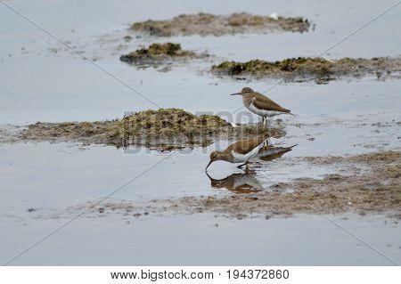Common sandpipers feeding in Seaton Wetland Devon