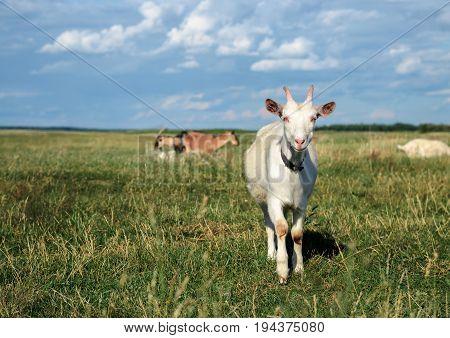 A Goat Grazes In A Meadow
